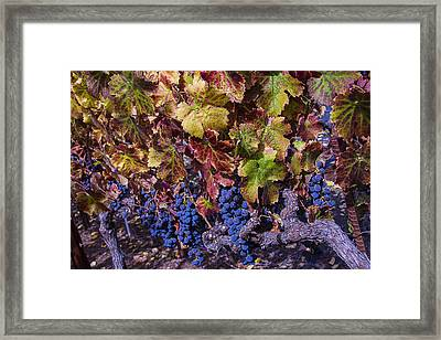 Beautiful Wine Grapes Framed Print