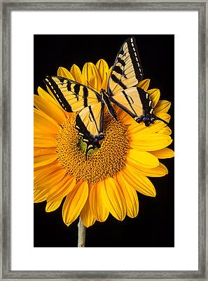 Beautiful Wings On Sunflower Framed Print by Garry Gay