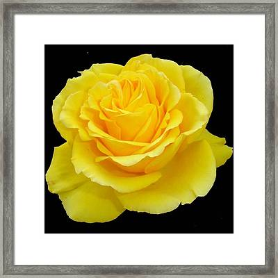 Beautiful Yellow Rose Flower On Black Background  Framed Print