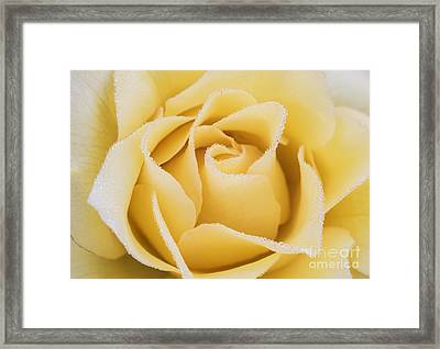 Beautiful Yellow Rose With Dew Drops Framed Print