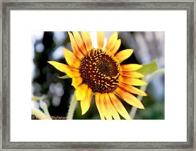 Beautifull Sun Flower Framed Print by Augusta Stylianou