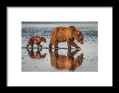 Brown Bear Framed Prints