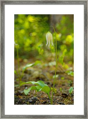 Beauty Droops  Framed Print