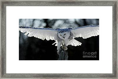 Beauty In Motion- Snowy Owl Landing Framed Print