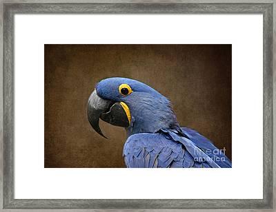 Beauty Is An Enchanted Soul - Hyacinth Macaw - Anodorhynchus Hyacinthinus Framed Print by Sharon Mau