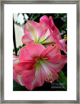 Beauty Of An Amaryllis Flower Framed Print