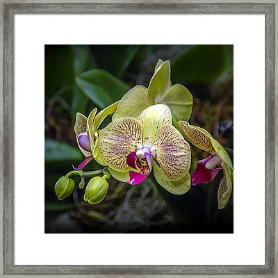 Beauty Of Orchids 3 Framed Print by Julie Palencia