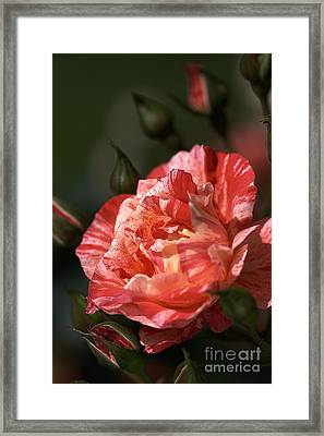 Framed Print featuring the photograph Beauty Of Rose by Joy Watson