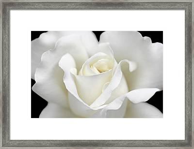Beauty Of The White Rose Flower Framed Print