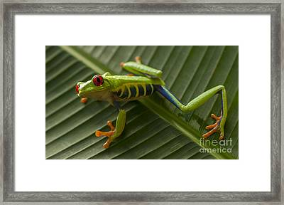 Beauty Of Tree Frogs Costa Rica 10 Framed Print by Bob Christopher