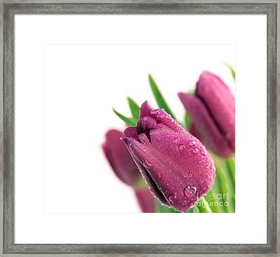 Beauty Purple Tulips Framed Print by Boon Mee