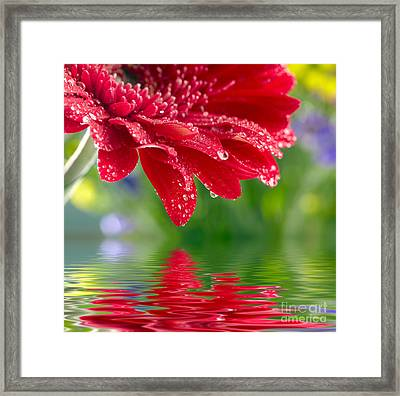 Beauty Red Gerbera Framed Print by Boon Mee