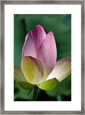 Beauty Unfolding Framed Print