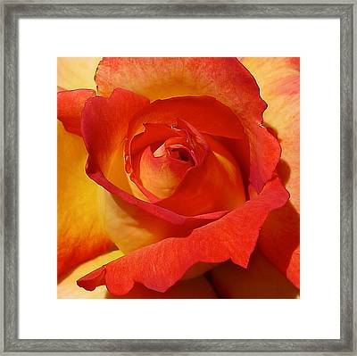 Beauty Unfurled Framed Print by Denise Mazzocco