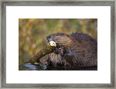 Beaver Chewing On Log In A Pond, Denali Framed Print by Kent Fredriksson