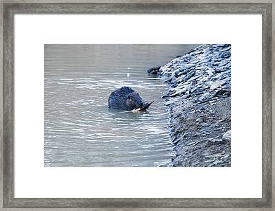 Beaver Chews On Stick Framed Print by Chris Flees