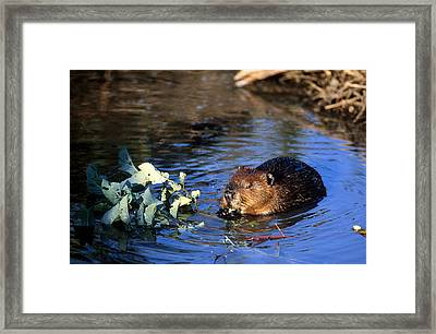 Beaver Eating Framed Print