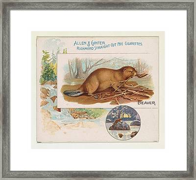 Beaver, From Quadrupeds Series N41 Framed Print by Issued by Allen & Ginter