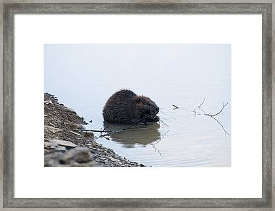 Beaver In The Shallows Framed Print by Chris Flees