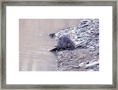 Beaver On Dry Land Framed Print by Chris Flees