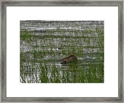 Beaver On Rest Lake Framed Print by Lizbeth Bostrom