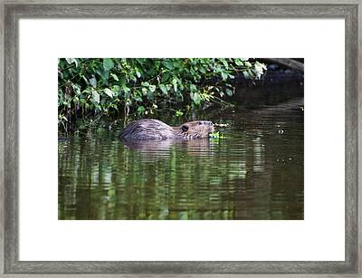 beaver swims in NC lake Framed Print by Chris Flees