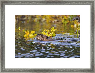 Beaver Swims With A Branch In Its Pond Framed Print by Thomas Sbamato