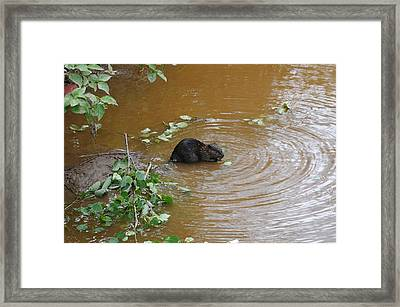 Beaver Youngster At Lunch Framed Print by Sandra Updyke