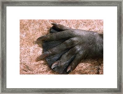 Beavers Hind Foot Framed Print by V B Scheffer