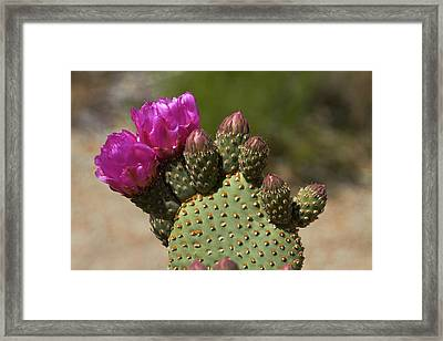Beavertail Cactus In Flower, Found Only Framed Print by David Wall