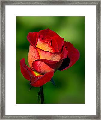 Becoming A Rose Framed Print by Tomasz Dziubinski