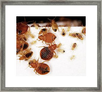 Bed Bug Adults And Nymphs Framed Print by Stephen Ausmus/us Department Of Agriculture