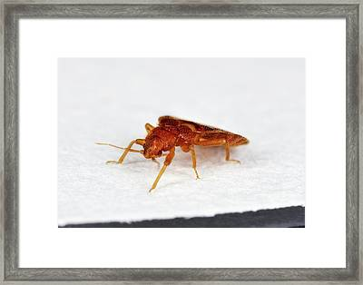 Bed Bug Framed Print by Stephen Ausmus/us Department Of Agriculture