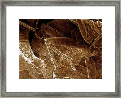 Bed Bugs Mating Framed Print by Clouds Hill Imaging Ltd