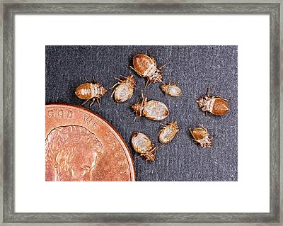 Bed Bugs With A Us One Cent Coin Framed Print by Stephen Ausmus/us Department Of Agriculture