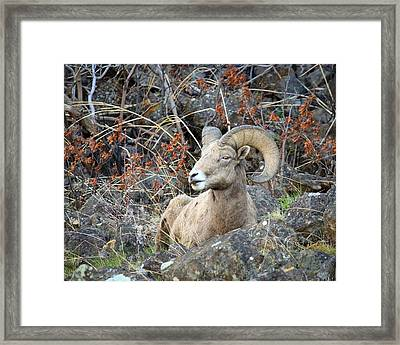 Framed Print featuring the photograph Bedded Bighorn by Steve McKinzie