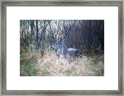 Bedded Buck Framed Print by Thomas R Fletcher