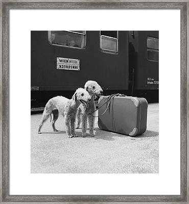 Bedlington Terriers, Austria Framed Print by Andy Bernhaut