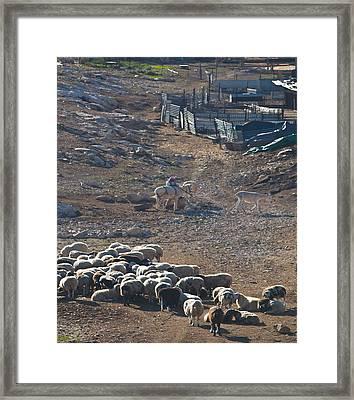 Bedouin Livestock Framed Print
