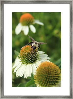 Bee 7 Framed Print by Reid Callaway