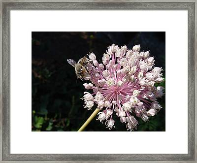 Bee And Allium Framed Print
