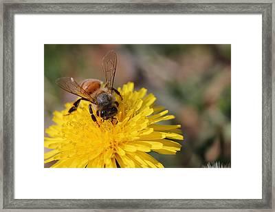 Bee And Dandelion Framed Print by Lorri Crossno