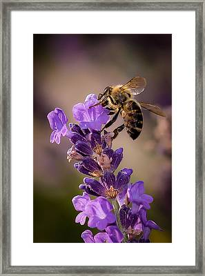 Honeybee Working Lavender Framed Print by Len Romanick