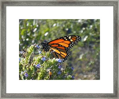 Bee And Monarch  Framed Print