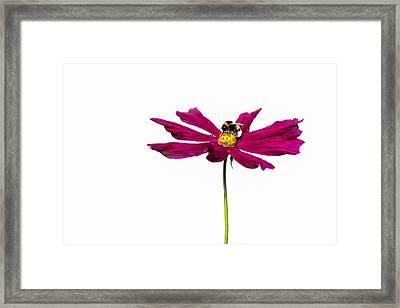 Bee At Work - Featured 3 Framed Print by Alexander Senin