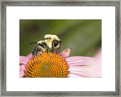 Framed Print featuring the photograph Bee At Work by Robert Culver