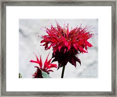 Bee Balm Framed Print by Rebecca Malo