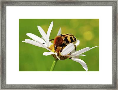 Bee Beetle On A Flower Framed Print by Heiti Paves