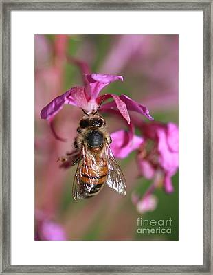Bee Collecting Nectar Framed Print by Amos Dor