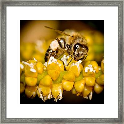 Bee Collecting Pollen Framed Print by Jim DeLillo